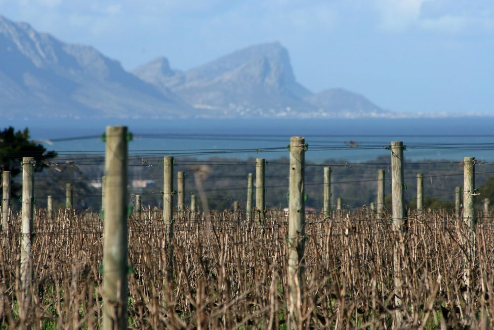 CHENIN BLANC AKA STEEN   THE ROCK OF SOUTH AFRICA [INFOGRAPHIC]